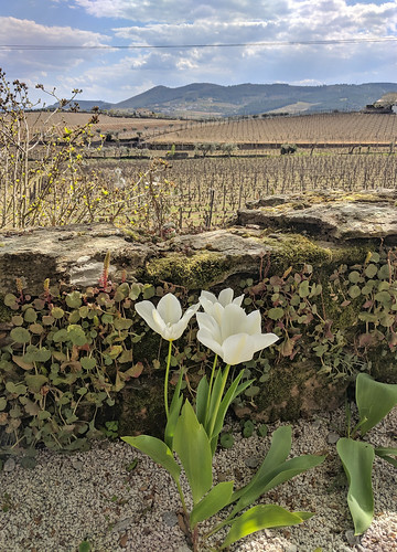 tulips in the Duoro Valley