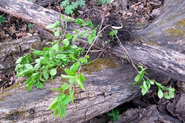 Buckthorn seedlings laying across a log.