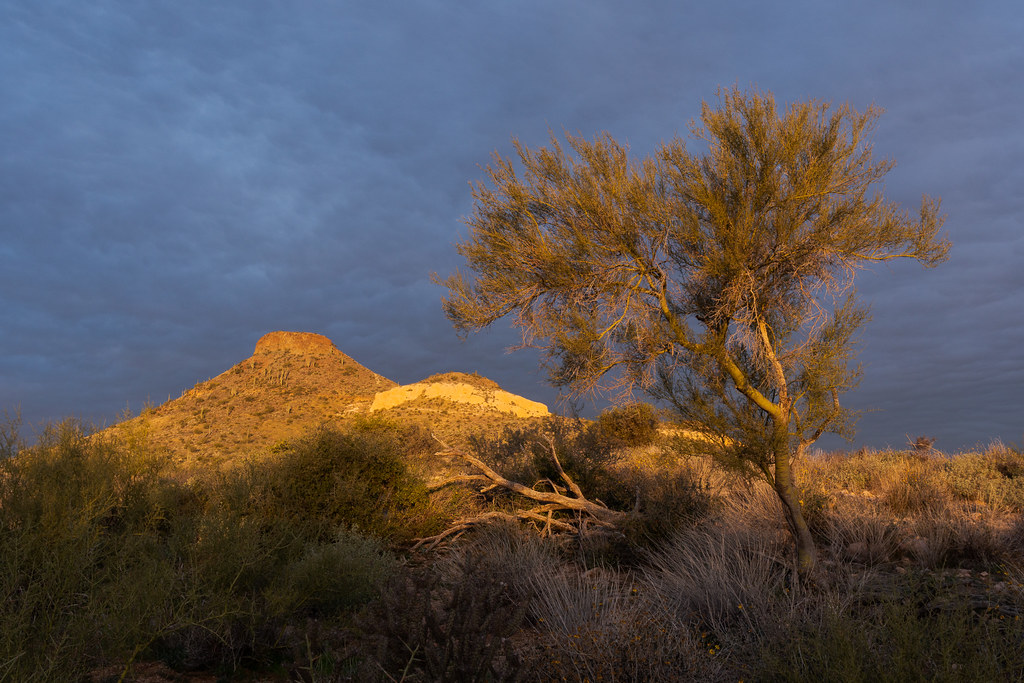 The sun begins to fall on a foothill palo verde tree in front of Brown's Mountain on Brown's Ranch Road in McDowell Sonoran Preserve in Scottsdale, Arizona
