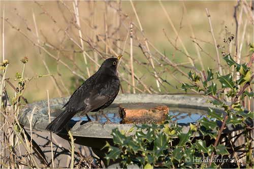 Blackbird | by Huddsbirder