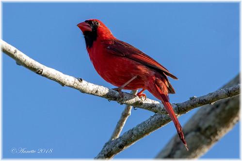 Northern Cardinal__11A5