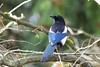 Eurasian Magpie (Pica pica), Royal Victoria Park, Bath, Somerset, United Kingdom