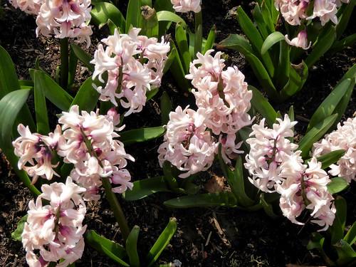 Pink Hyacinthus orientalis
