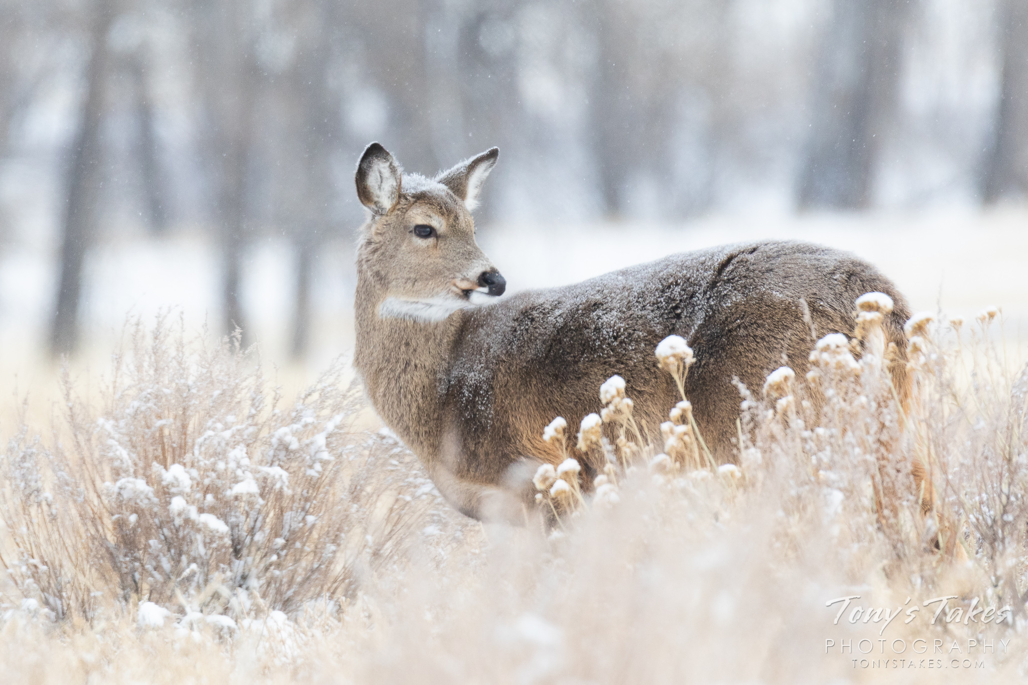 A white-tailed deer doe looks behind as it walks through a light snow on the Colorado plains. (© Tony's Takes)