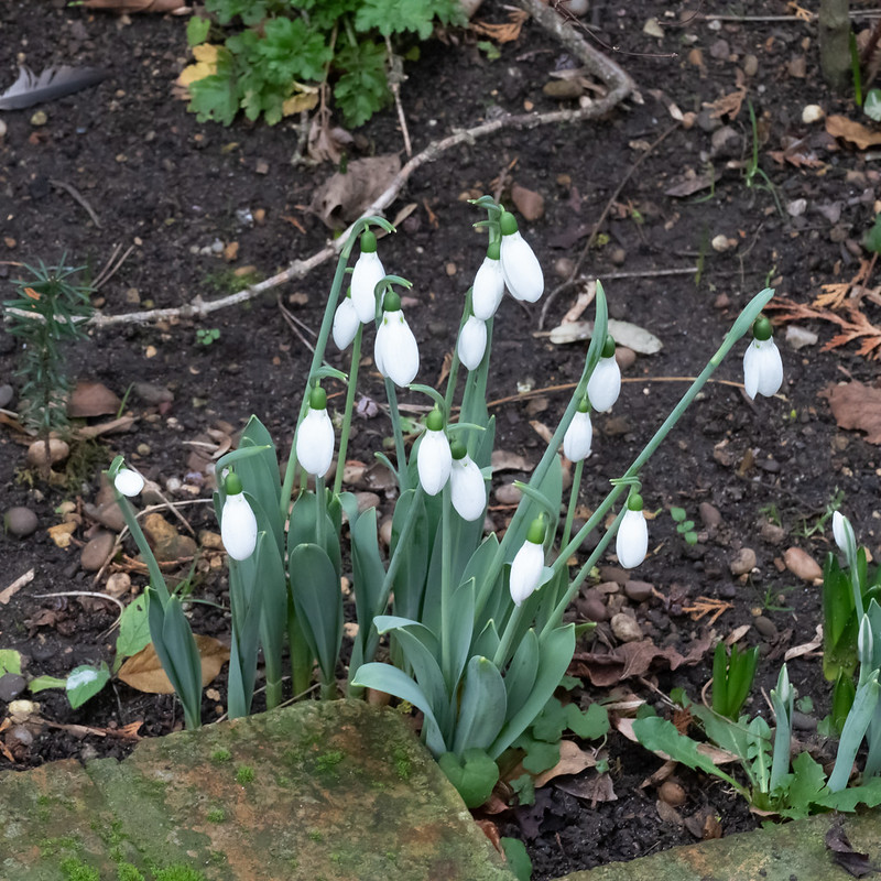 Snowdrops flowering, Christmas