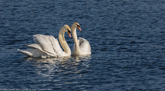 HolderSwans at Peace