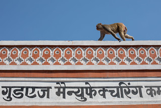 Monkey, Pink City, Jaipur | by Geraint Rowland Photography