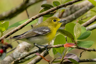 Yellow-throated Vireo in Colombia