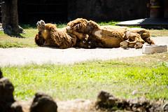 Bactrian camel relaxing under the sun