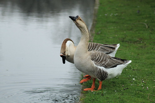 The Same Geese