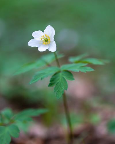 Wald Anemone
