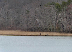 Jug Bay - Four Ospreys