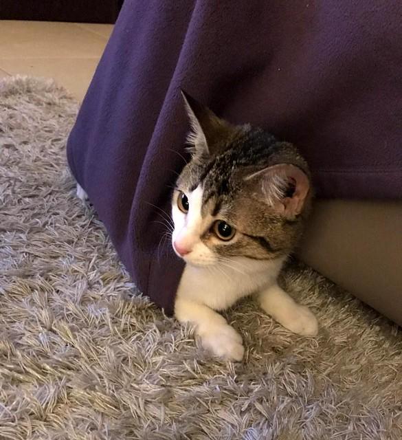 Lara, gatita blanquiparda dulcísima y confiada, nacida en Septiembre´18, en adopción. Valencia. ADOPTADA. 40410976343_3402511c41_z