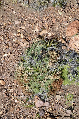 aDSC_0338 Junellia patagonica Whiteflower ジュネリア パタゴニカ 白花