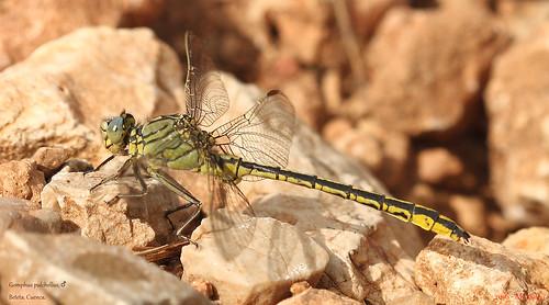 072 – Gomphus pulchellus, ♂