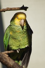Amazone à tête jaune (Amazona oratrix oratrix)