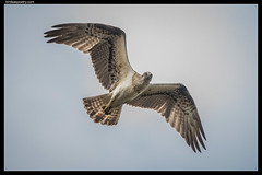 Eastern Osprey: A close pass