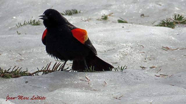Retour du carouge à épaulettes, 20 mars 2019 __ Agelalus phoeniceus / Red-winged Blackbird