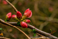 The Coming Of The Quince