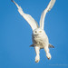 Snowy Owl by Turk Images
