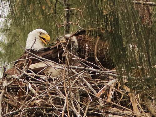 Bald Eaglet begs from male as female tears prey 2-20190209
