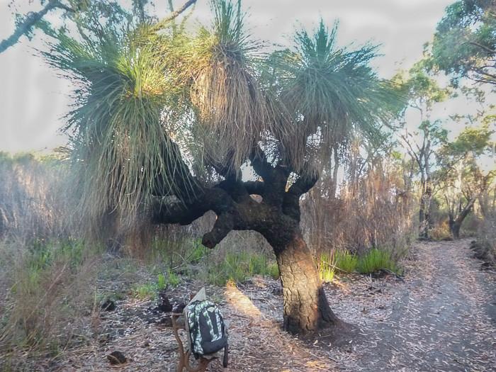 Grass tree - Xanthorrhoea