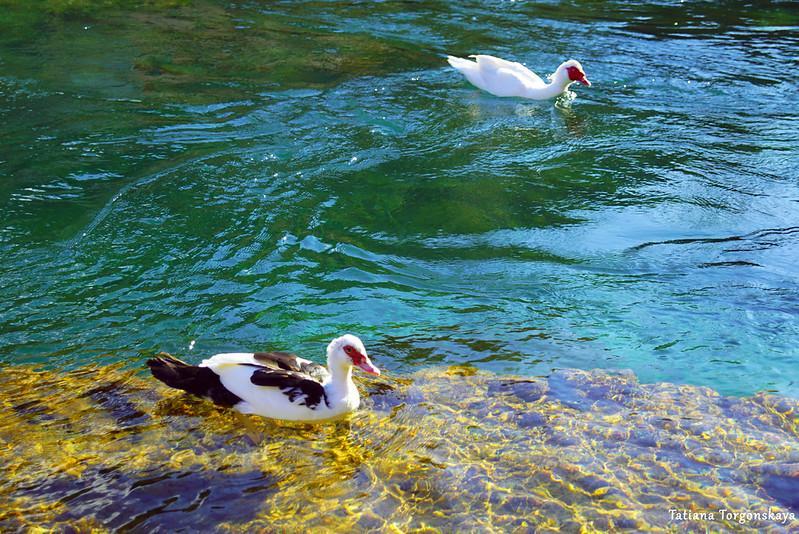Утки в водах Брегавы