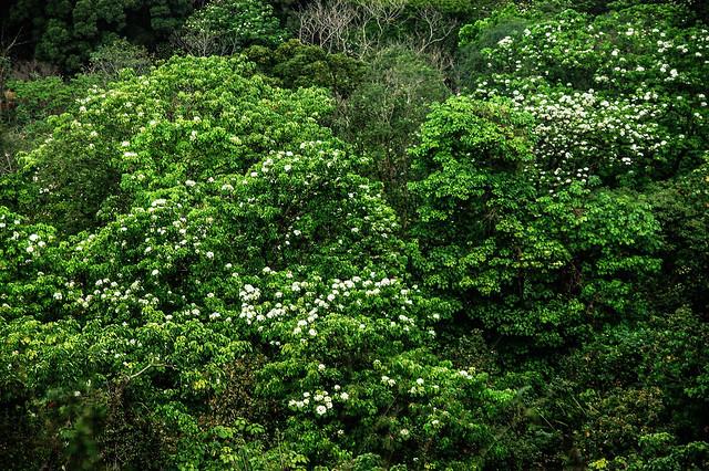 笠頂山油桐花 4