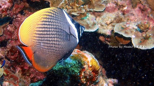 インド洋固有種。コラーレバタフライフィッシュ