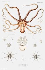 Ornate octopus anatomy vintage poster