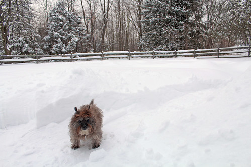 vermont winter nature snow outdoors animals dogs cairnterriers pets