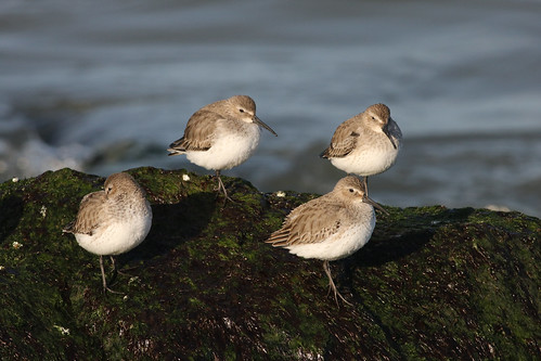 Group of Dunlins