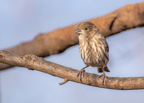 And now Mrs. House Finch :)
