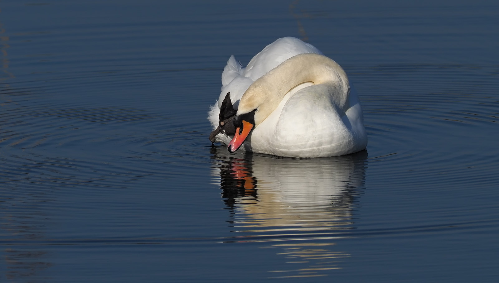 Mute Swan reflections