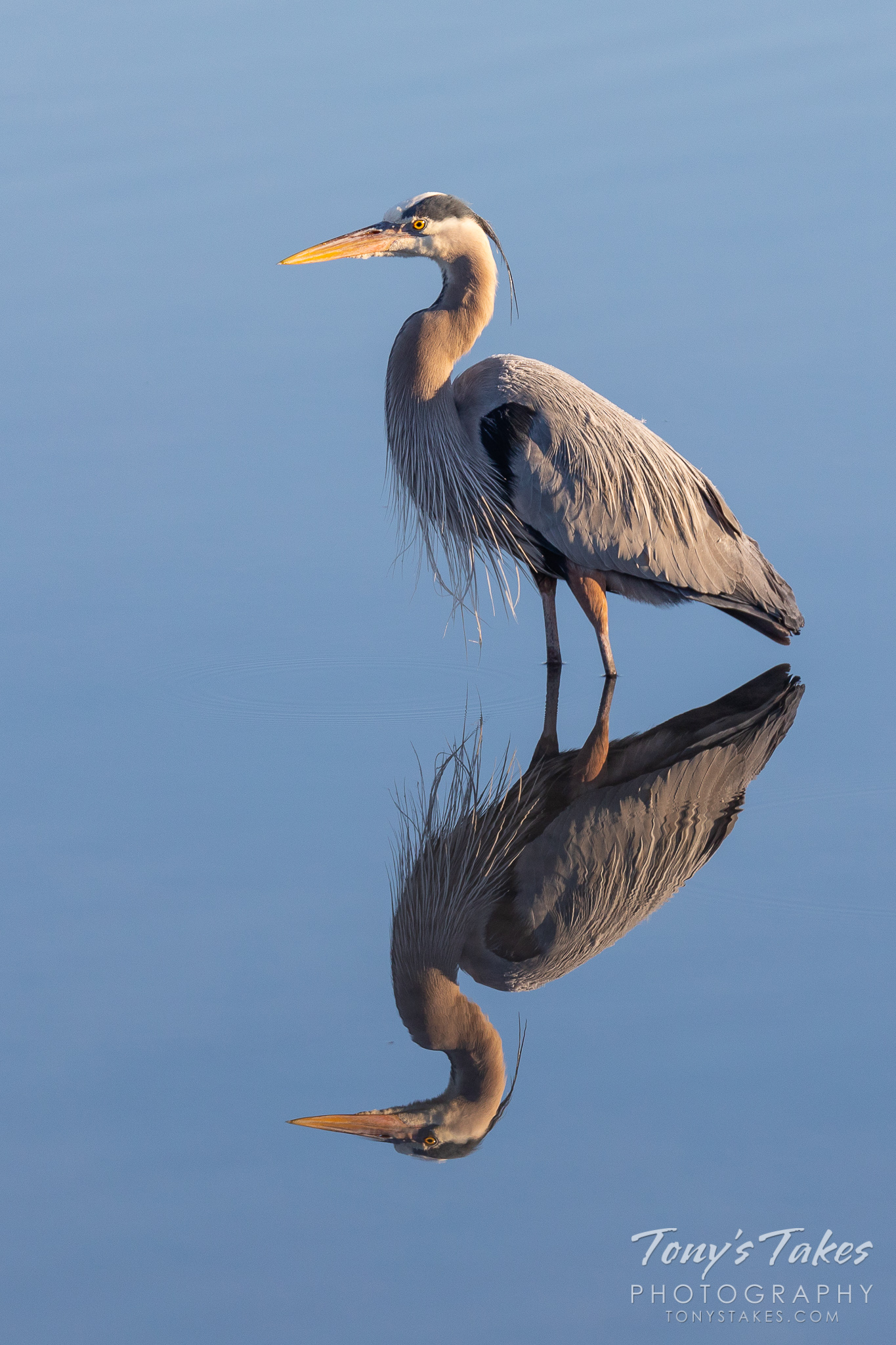 A great blue heron stands perfectly still in a pond allowing a mirror-like reflection on the waters of a pond. (© Tony's Takes)