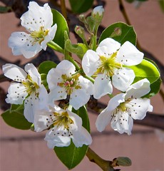 Pear Tree blossoming
