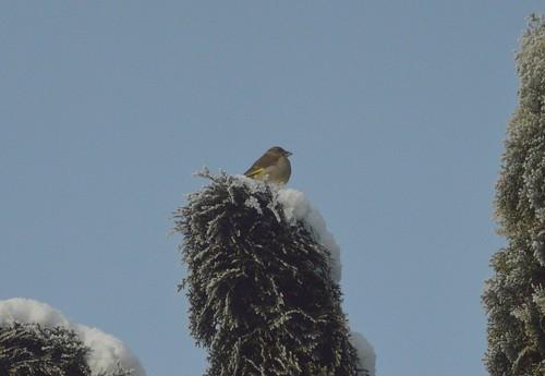 Grünfink auf Schnee