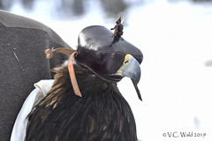 Hooden golden eagle