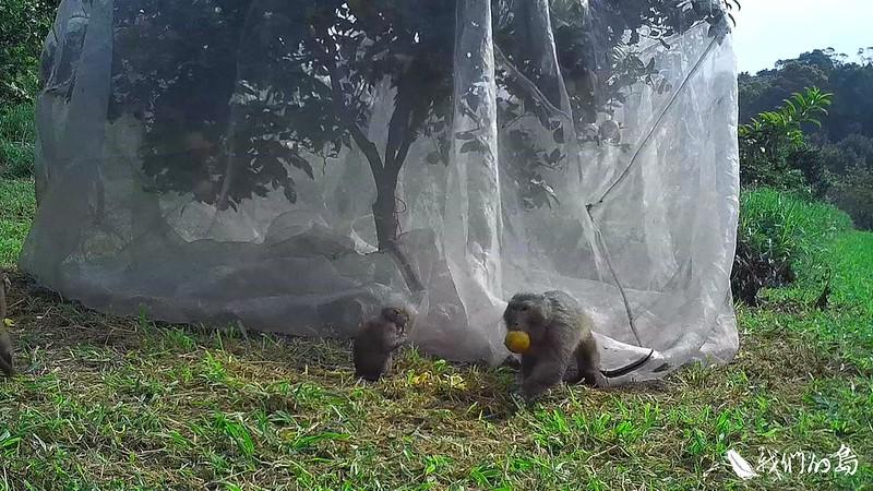 許多農民一提起獼猴就滿肚子氣,因為他們不只損耗農果,也會破壞農民的設備。