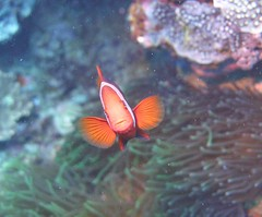 Poisson clown - Anemonefish