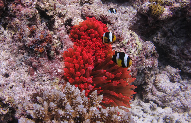Red sanctuary @ Holiday Thila -divesite