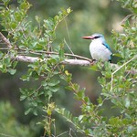 Woodland Kingfisher – South Africa