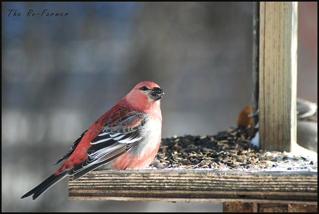2019-02.pine.grosbeak.male.2