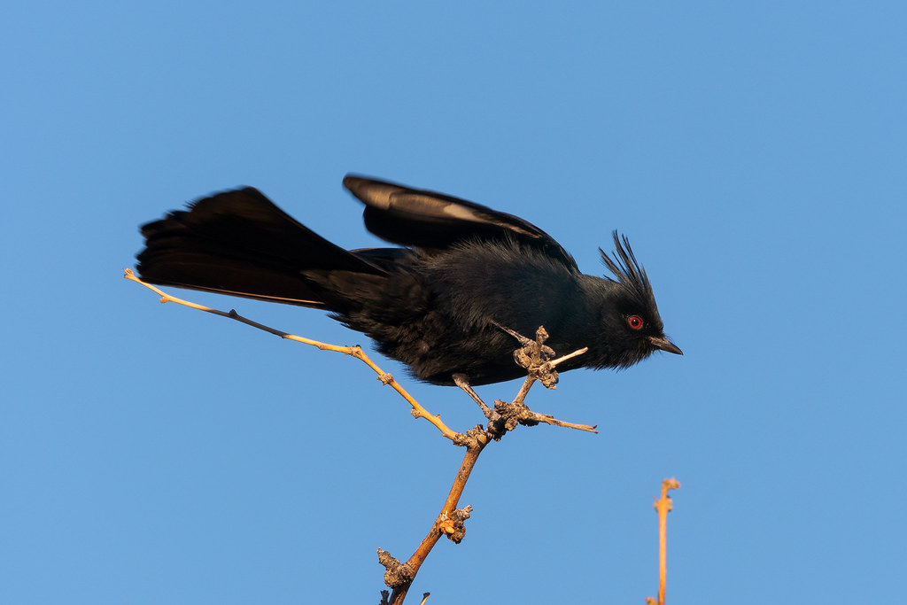 A male phainopepla stretches while perching atop a tree on the Marcus Landslide Trail in McDowell Sonoran Preserve in Scottsdale, Arizona