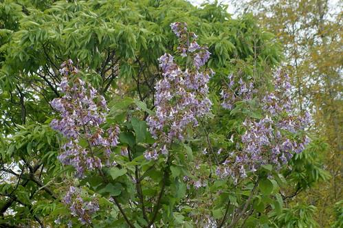 キリ/Paulownia tomentosa