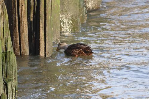 Female Mallard Inspecting the Pier