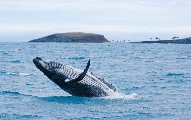 Baleia jubarte mo Parque Nacional de Abrolhos, sul da Bahia - Créditos: ICMBio