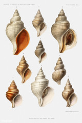 Conch shell varieties vintage poster