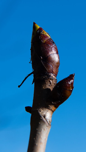 Sticky buds, horse chestnut