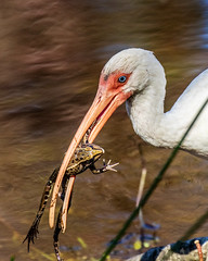 White Ibis With a Frog at Sawgrass Lake Park